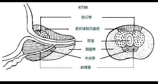 b.前列腺移行带占前列腺组织的5 c.c.